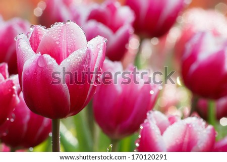 Water drop on pink tulip's - stock photo