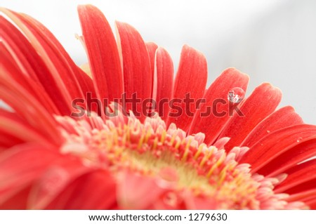 water drop on red gerbera, shallow dof