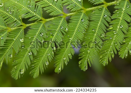 Water drop on sensitive plant in forest