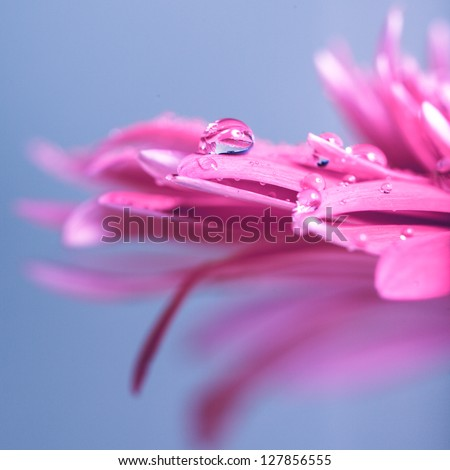 Water drop on the pink flower over blue background - stock photo