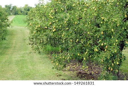 Water droplets cling to a bumper crop of pears in trees heavy with fruit in the orchard. - stock photo