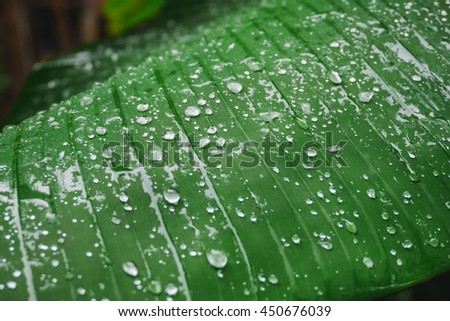 Water drops on a Banana Leaves Background