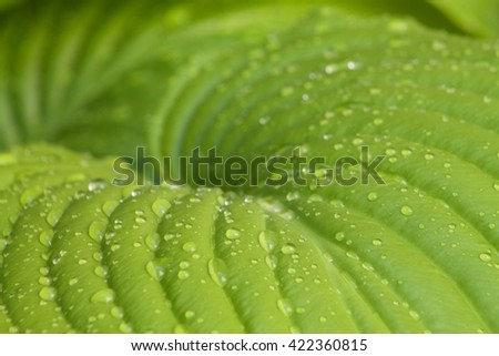 water drops on a hosta green  leaf