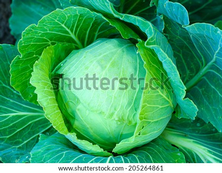 water drops on cabbage