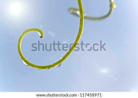 water drops on curled twig of a vine leaf.  shallow depth of field and beautiful lens flare. - stock photo