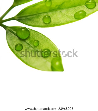 Water drops on fresh green leaves. Isolated on white background - stock photo
