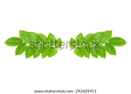 Water drops on fresh green leaves on white background