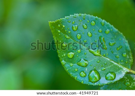 Water drops on green leaf after rain in summer
