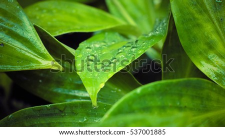 water drops on green leaves in nature