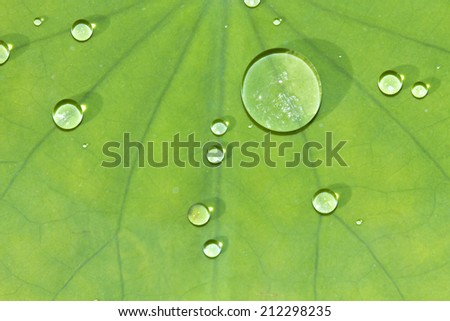 Water drops on lotus leaf  - stock photo