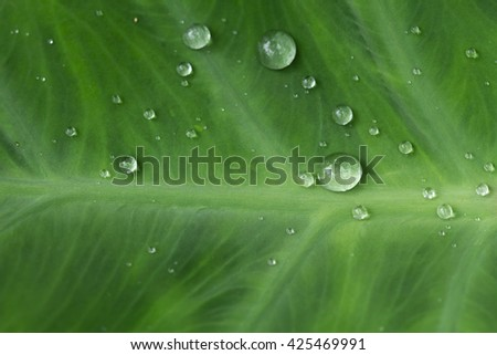 Water drops on lotus leaf green - stock photo