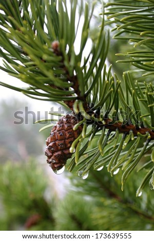 water drops on pine needles and conifer-cone