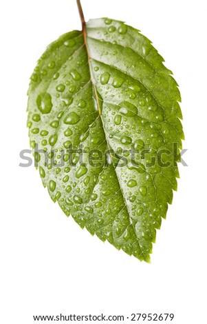 Water drops on plant leaf in white background - stock photo
