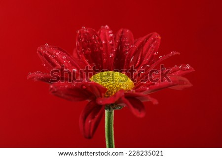 Water drops on red flower on dark background - stock photo