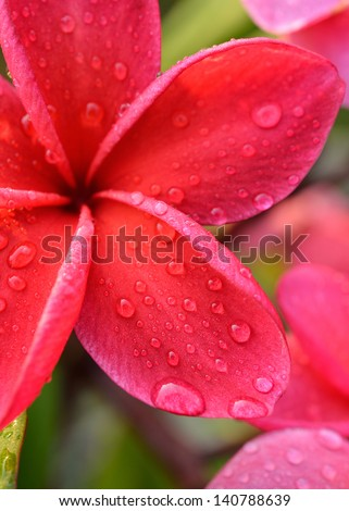 Water drops on red frangipani flowers - stock photo
