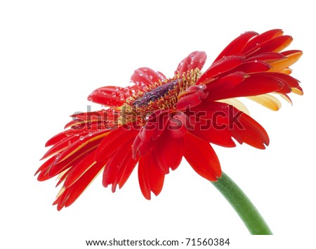 Water drops on red gerbera flower. White background - stock photo
