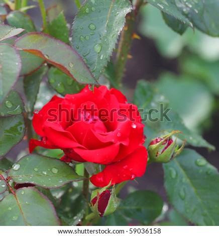 Water drops on red rose in garden after rain. Shallow DOF. - stock photo