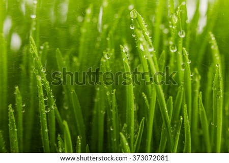 Water drops on the green grass in the field, spring concept - stock photo
