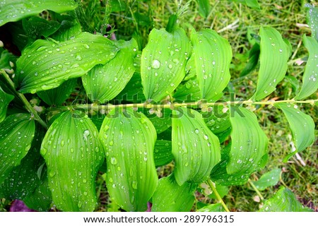 Water drops on the leaves rain background. Lithuania. - stock photo