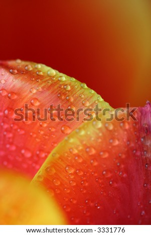 Water drops on the tulip - stock photo