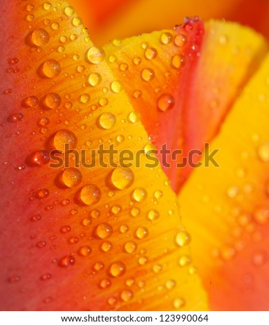 water drops on tulip petal close-up background