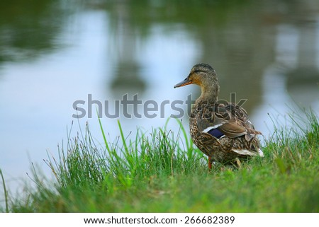 water duck flock of birds - stock photo