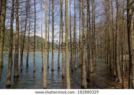 Water fir - stock photo
