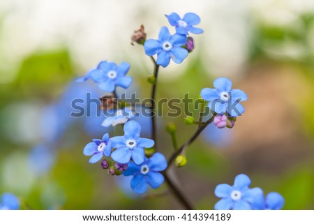 Water forget-me-not Myosotis scorpioides - stock photo