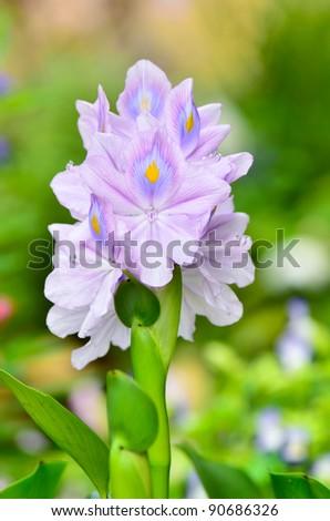 Water Hyacinth - stock photo