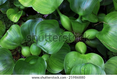 Water Hyacinth cover a pond - stock photo