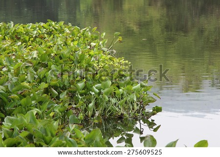 Water Hyacinth (Eichhornia crassipes) in lake with forest view