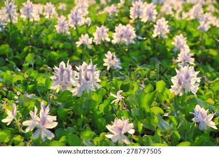 Water Hyacinth flowers - stock photo