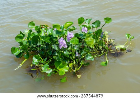 Water hyacinth plant floating on a river - stock photo