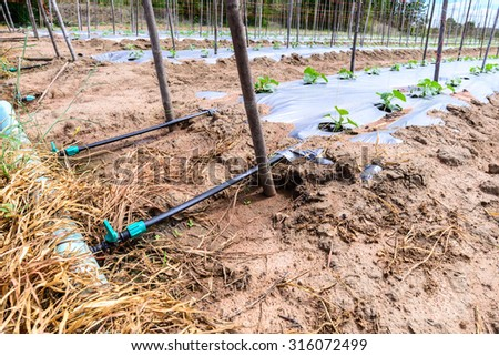 Water irrigation system on melon field. - stock photo