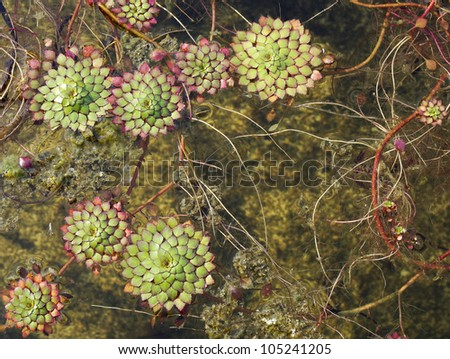 water lettuce - stock photo