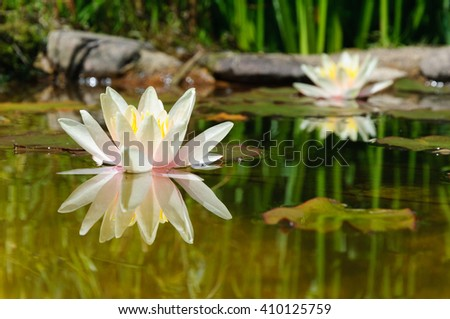 Water Lilies in a pond with reflection - stock photo