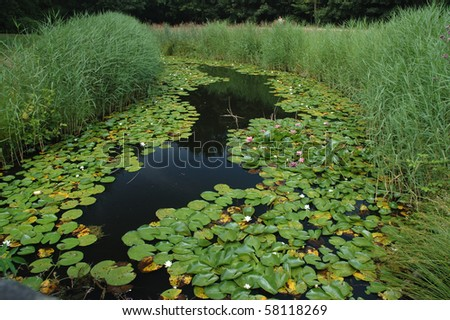 Water lilies in Domburg, the Netherlands - stock photo