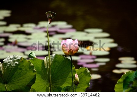 Water lilies in the lake of the Landscape Garden at the Ryoan-ji Temple in Kyoto, Japan. In this picture flower, fruit and leaves of Lotus - stock photo