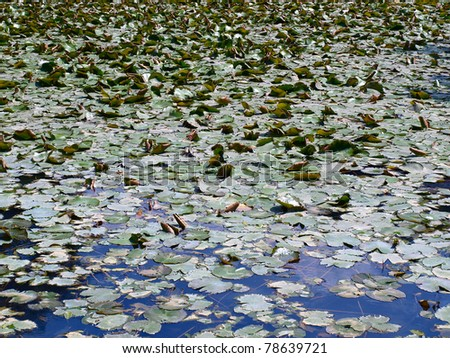 Water lilies on a blue pond - stock photo