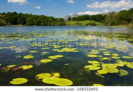 Water lilies on Loughrigg Tarn with the Langdale Fells in the distance a popular tourist destination in The Lake District, Britain. - stock photo
