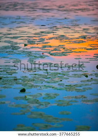water lilies on the lake at sunset. Shallow depth of field - stock photo