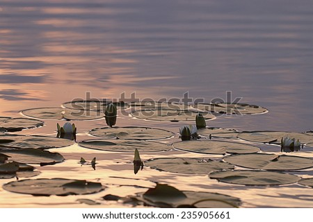 water lilies sunset - stock photo