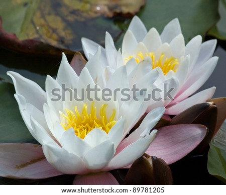 Water lillies - stock photo