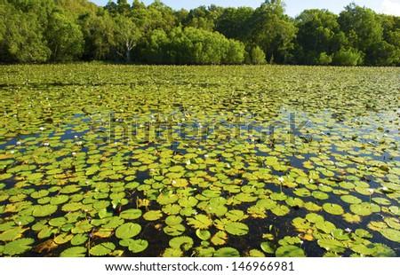 water lillies Keating lagoon, cooktown, queensland, australia. crocodile waterhole billabong green aussie lake - stock photo