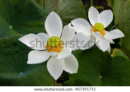Water lilly , Blooming lotus - stock photo
