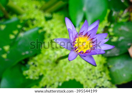 Water Lilly Flower - stock photo