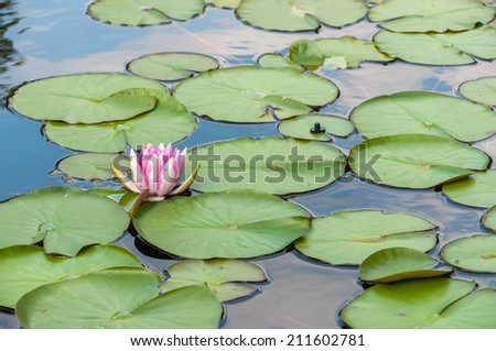 Water Lilly in the pond among the leaves