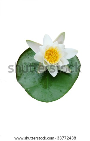 water lilly isolated on white - stock photo