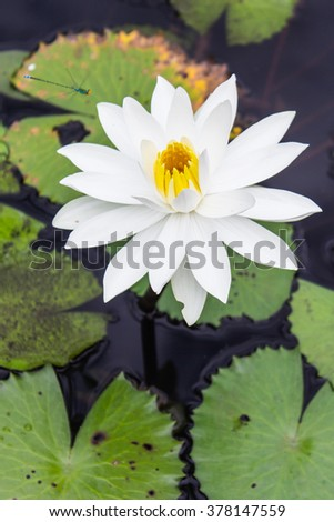 Water lilly, Lotus - stock photo