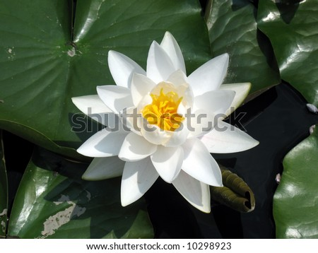 Water lily - stock photo